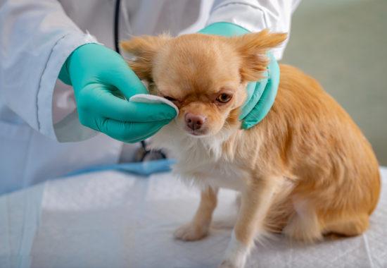 Veterinari guarint l'ull d'un gos de raça petita amb un cotó.