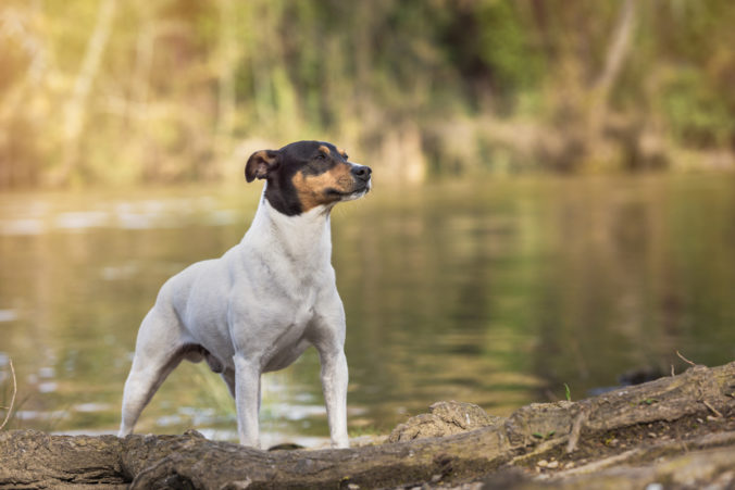 Ratonero Bodeguero Andaluz purebred dog posing next to the river with copy space.