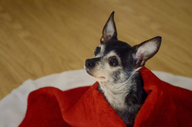 Cute chihuahua dog with sad eyes covered with a red blanket