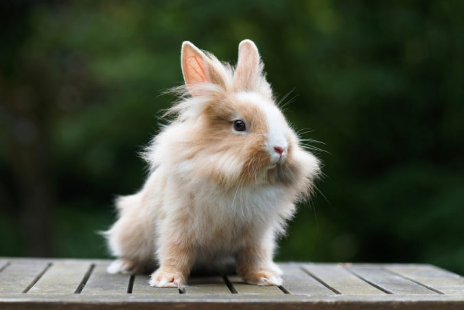 White and light brown lionhead rabbit.
