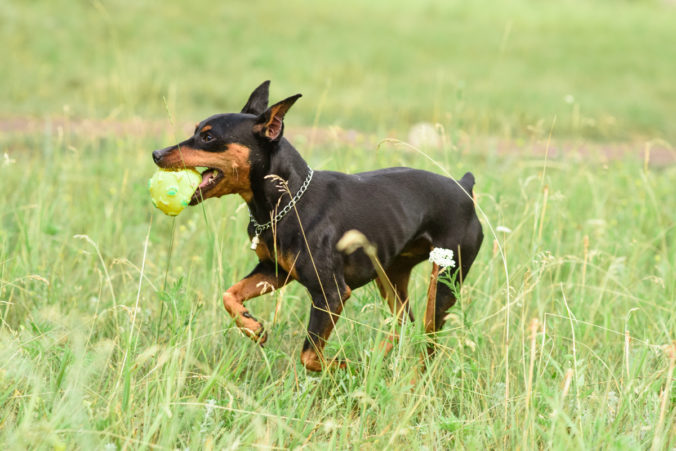 Young little miniature pinscher is playing in the park on a warm summer day