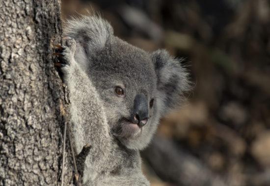 A gray koala attached to a tree.