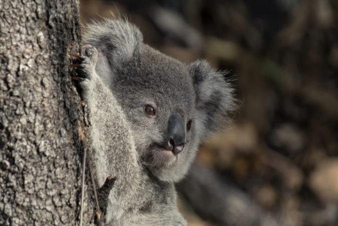 Un coala de color gris subjecte a un arbre.