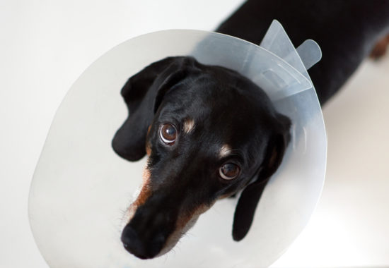 Dog with vet plastic Elizabethan collar on neck.