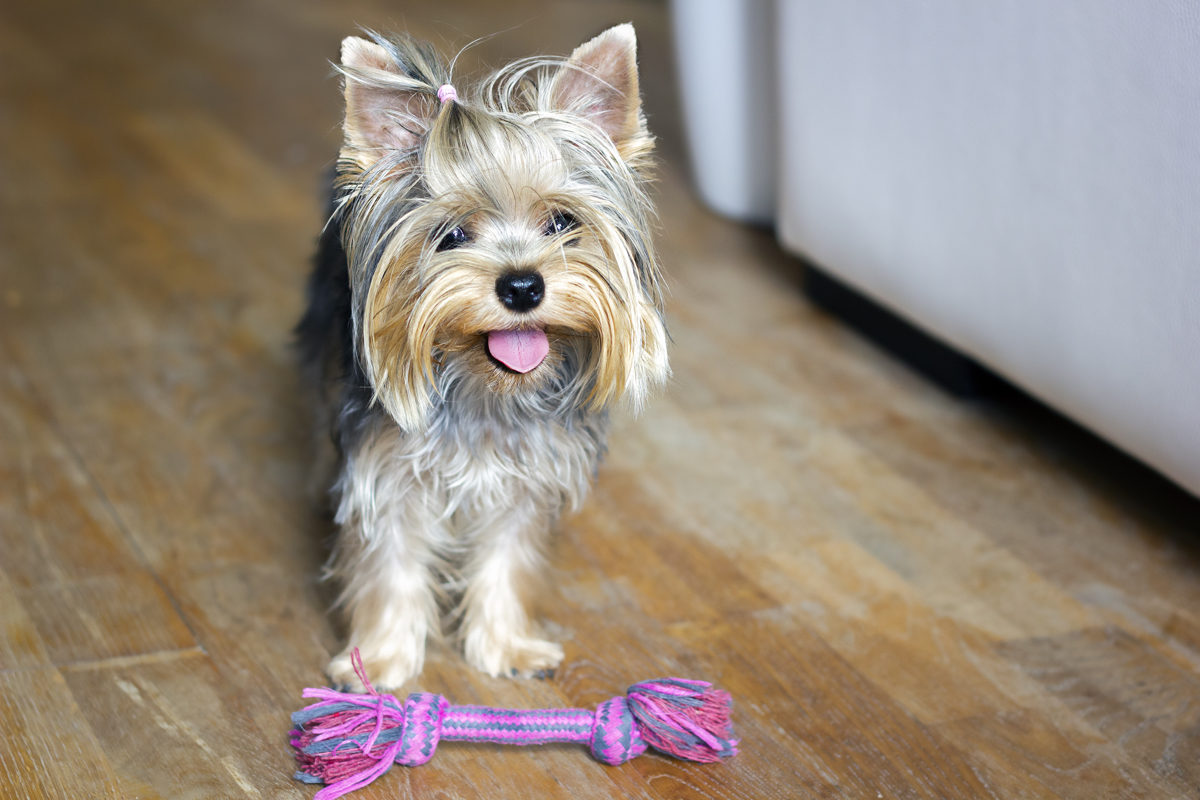 Yorkshire terrier frente a un juguete en forma de cuerda