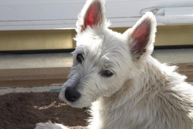 Perro de color blanco y pelo largo