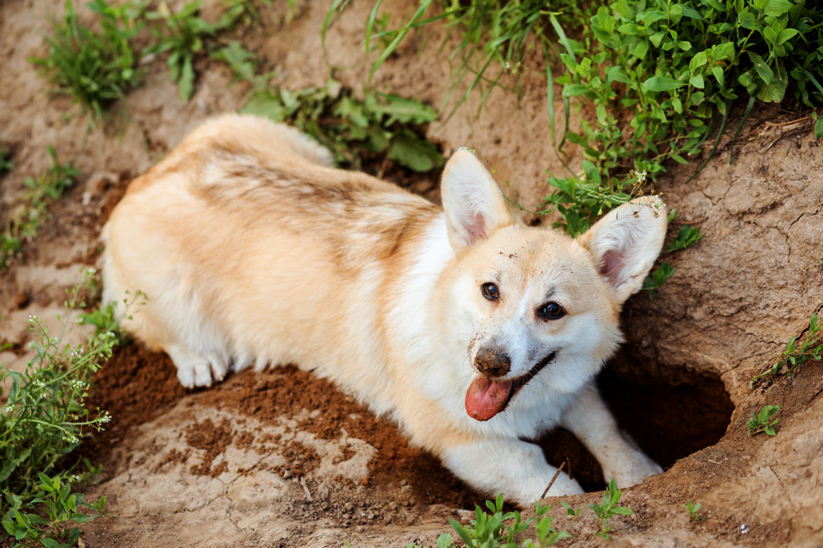 Happy dog, Welsh Corgi Pembroke, digs a hole in the ground. Outdoors in summer.