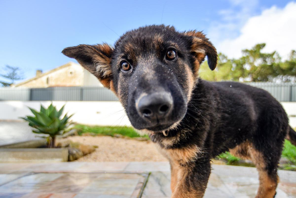Gos de color negre i marró de talla petita