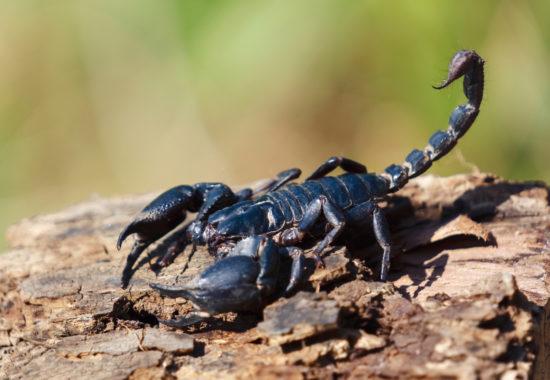 Escorpí negre sobre la terra