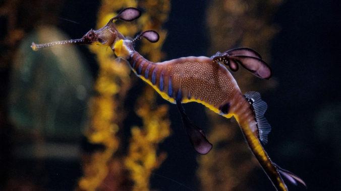 Dragón de mar en el fondo marino