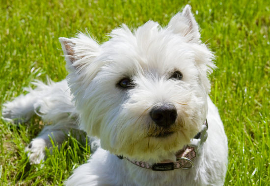 West Highland White Terrier de color blanco tumbado en el cesped