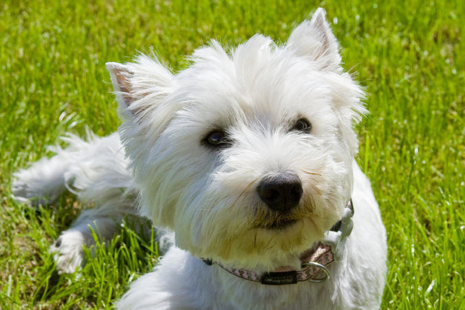 West Highland White Terrier de color blanco tumbado en el cesped