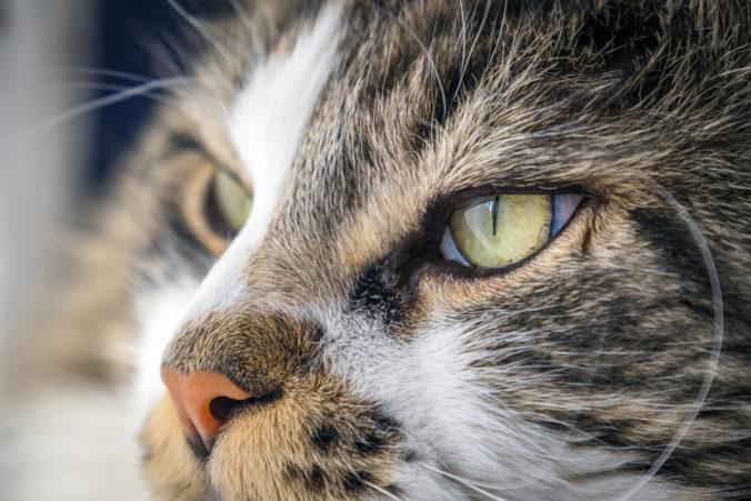 Primer plano de ojos y hocico de un gato