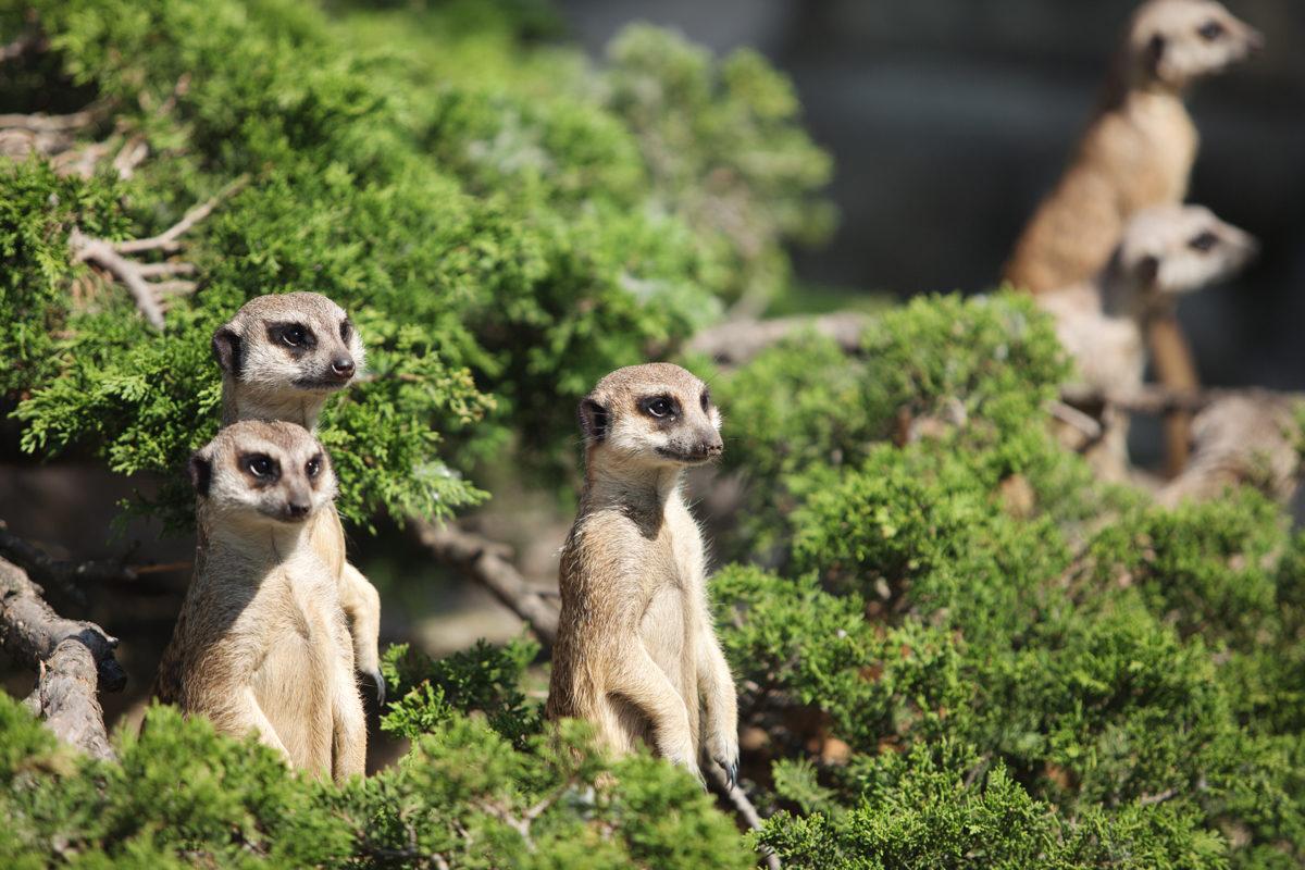 Un grupo de suricatas en un arbusto