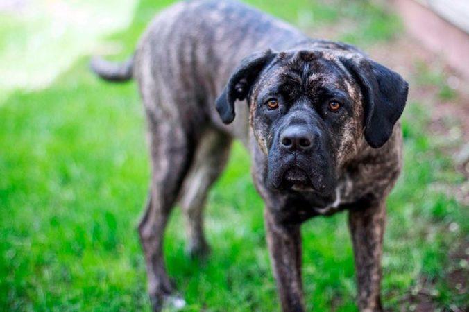 Perro de raza Alano español de color oscuro