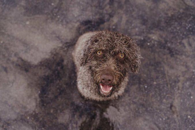 Gos d'aigua espanyol marró