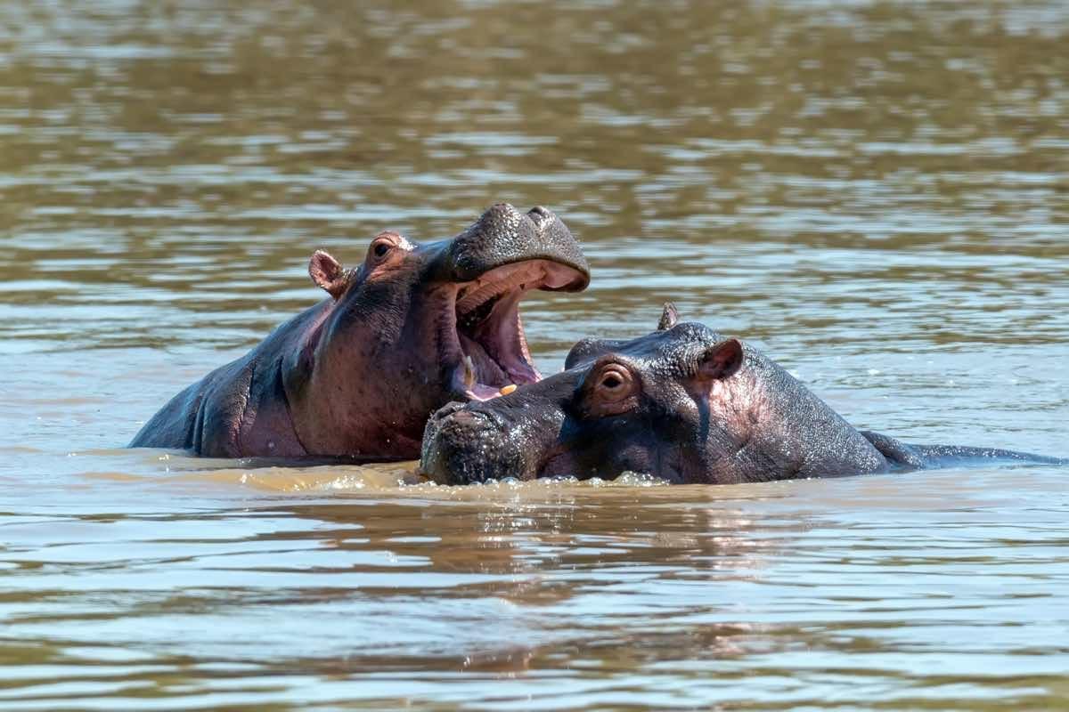 Hipopótamo atacando a otro en un río.