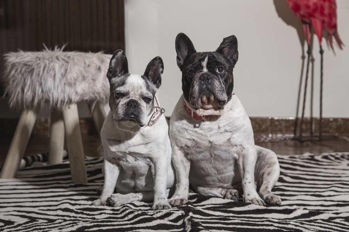 A sweet couple of french bulldog dogs sitting in a room looking at the camera