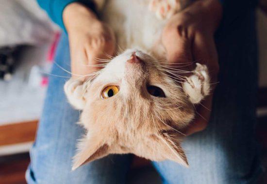 Gato de color claro tumbado boca arriba mostrando sus uñas