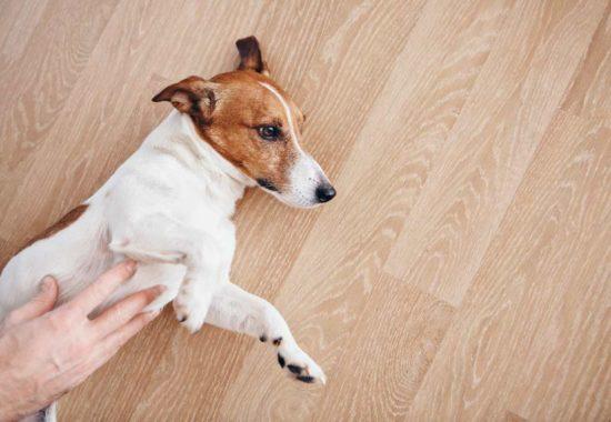 Perro tumbado en el suelo y una mano acariciando su barriga