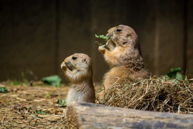 Two cute gophers eating dry grass in a cage during daytime