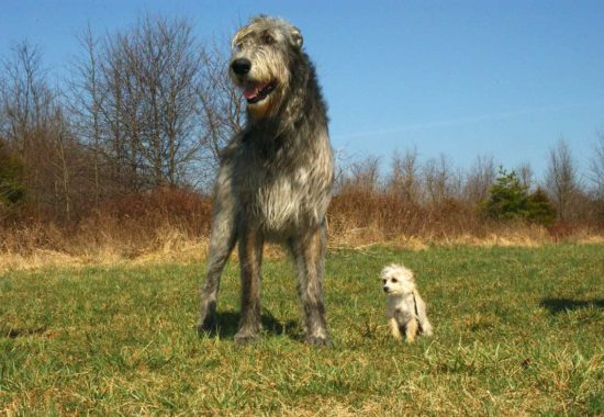 Lobero irlandés junto a perro de raza pequeña
